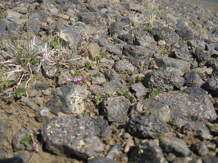 Name:  Island 2007-1 088-blomster i lavastein.jpg Views: 6447 Size:  112.5 KB